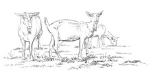 Vector Hand Drawing Goat 2