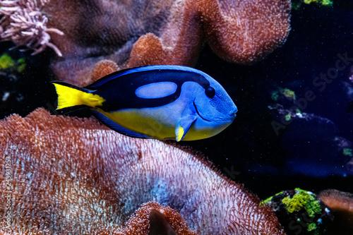 Fotografie, Tablou  Fish Royal Blue Surgeon - Paracanthurus hepatus