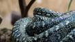 Eingerollte schwarzweiße Schlange