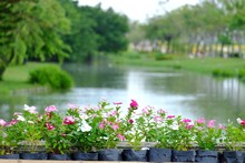 A Many Pot Of Rose Periwinkle Flower Plant Growing On The Bridge With Blurred Water View And Green Nature At The Park