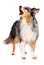 Australian Shepherd Dog Standing On White Background And Barks