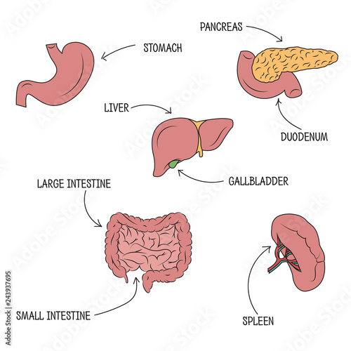 Vector Illustration Of Human Digestive System Vector