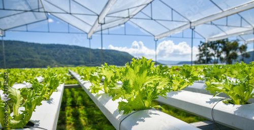 Fotografia  vegetable hydroponic system / young and fresh vegetable Frillice Iceberg salad g