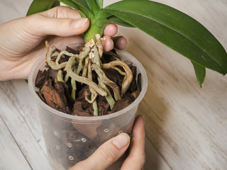 Aerial roots of orchids close-up on the surface of the ground. Healthy roots of orchids.