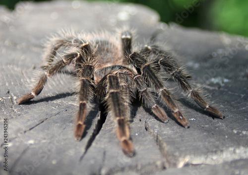 Plakat Pająk tarantula na białym tle