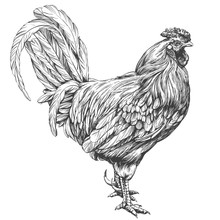 Rooster, Chicken Hand Drawn Vector Illustration Realistic Sketch