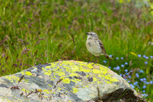 Close Up Water Pipit (Anthus Spinoletta) Standing On A Rock In Mountains Of Greece