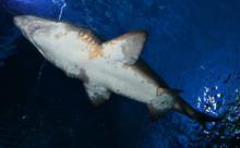 Arge Ragged Tooth Shark Or San...