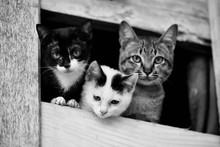 Kittens Cute Cat / Monochrome Three Tabby Cat Brethren Kitten On Window