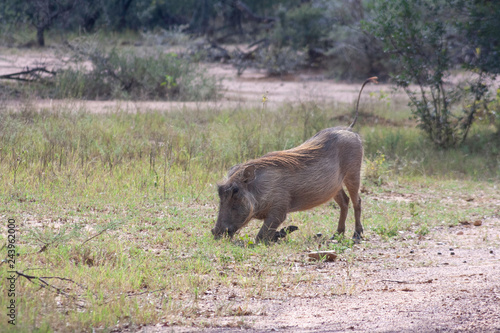 Photo  Warthog grazing in grass