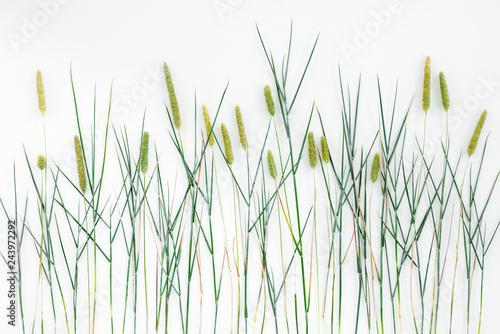 Obraz Close-up of Timothy grass on white background - fototapety do salonu