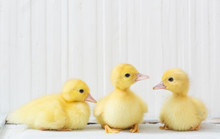 Duckling  On White Wooden Background