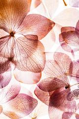 Fototapetapink hydrangea flowers isolated on the white background