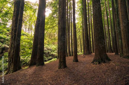 Fotografie, Obraz  Californian Redwood Forest, Great Otway National Park, Victoria, Australia