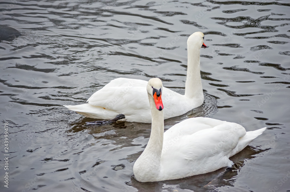 Two white swans on a lake during the daytime. Beautiful swan.