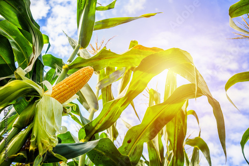 Leinwand Poster Corn cob growth in agriculture field outdoor with clouds and blue sky