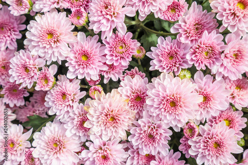 Leinwand Poster beautiful chrysanthemum flowers background top view