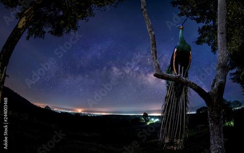 Fototapeta premium Samiec paw stoi na gałęzi o świcie.