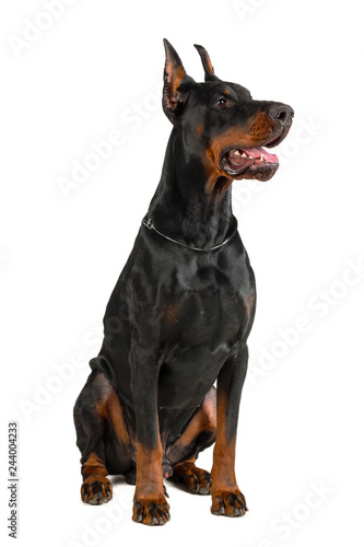 Leinwand Poster Doberman isolated on white background