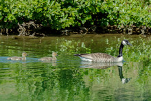 Canadian Goose With Two Gosling's Swimming In Sunlight