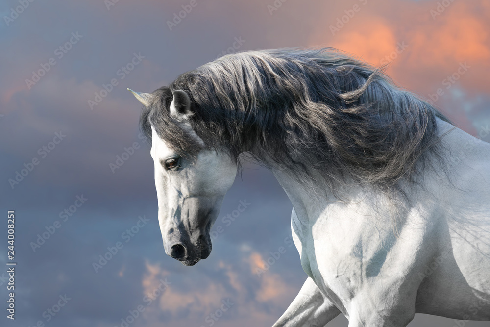 Fototapeta Andalusian horse with long mane run gallop close up