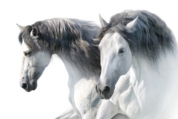 Panel Szklany Koń Two White andalusian horse portrait on white background. High key image