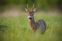 Roe Deer, Capreolus Capreolus, Buck In Spring At Sunset. Morning Wildlife Scenery From Nature. Alerted Wild Deer With Blurred Background. Deer With Clear Green Blurred Background.