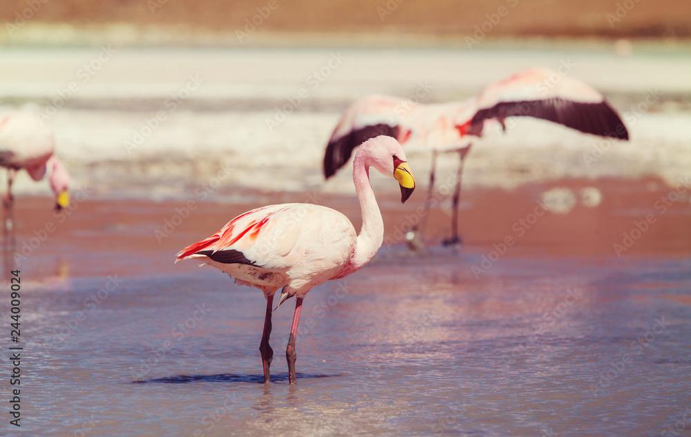 Flamingo in Bolivia