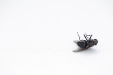 Dead Fly On White Windowsill