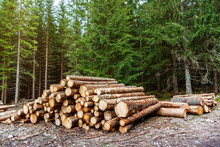 Freshly Cut Pine Logs Piled In The Forest. Logging, Deforestation, Environmental Issues