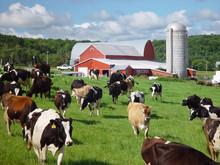 Cows In The Barn Yard