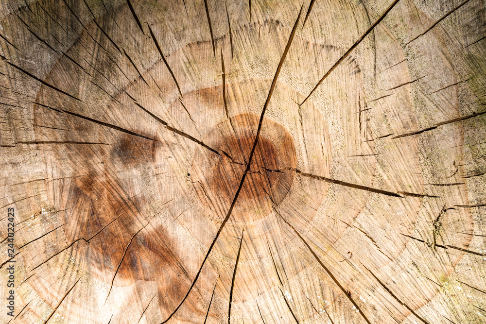 Fototapety, obrazy: Detail of brown wood texture showing center of cut trunk