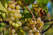 Bunch Of White Grapes In The V...