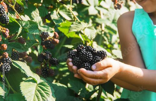 blackberry grows in the home garden. Selective focus. Fototapeta