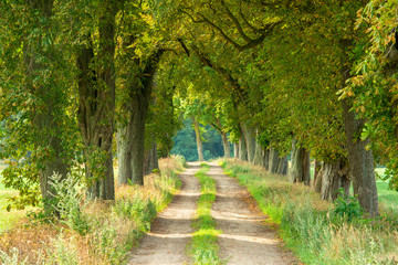FototapetaFarm Road through Avenue of Horse Chestnut Trees