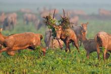 Milu Deer Stag
