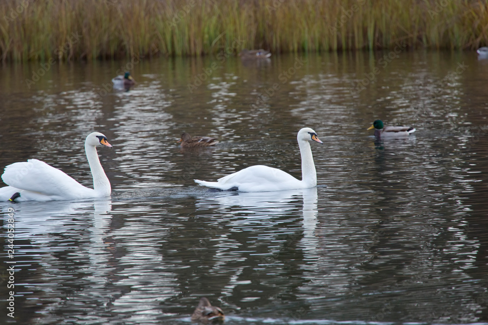 two white swan in the lake..