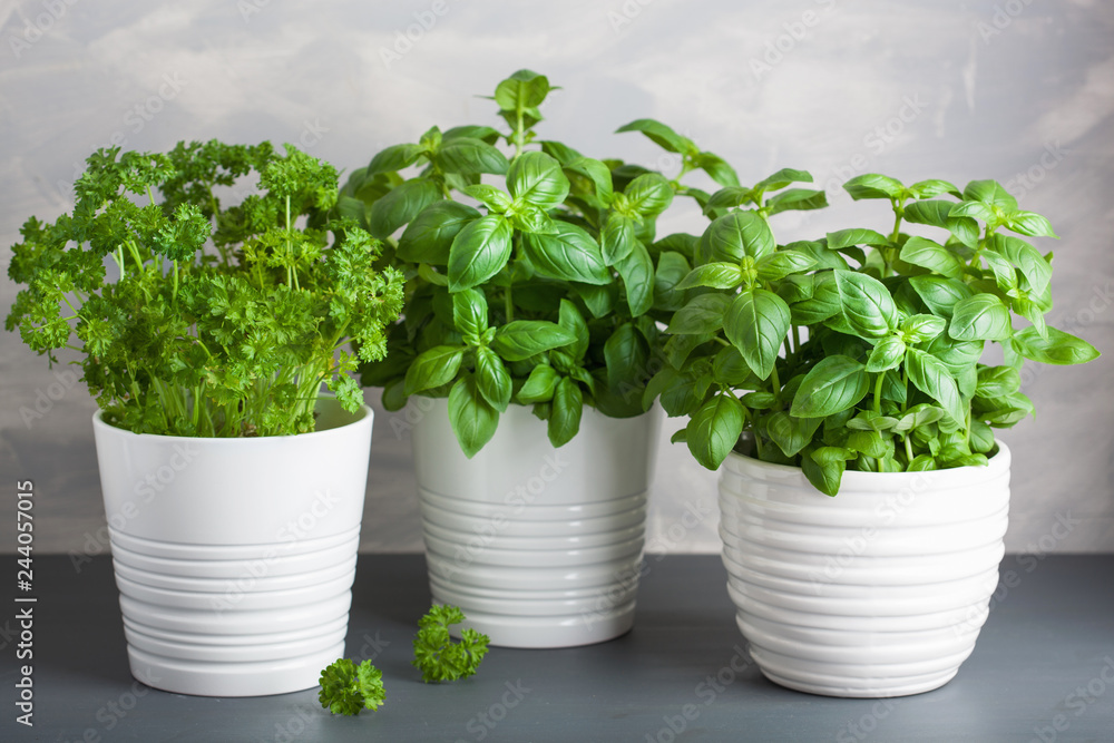 Fototapety, obrazy: fresh basil and parsley herb in pot
