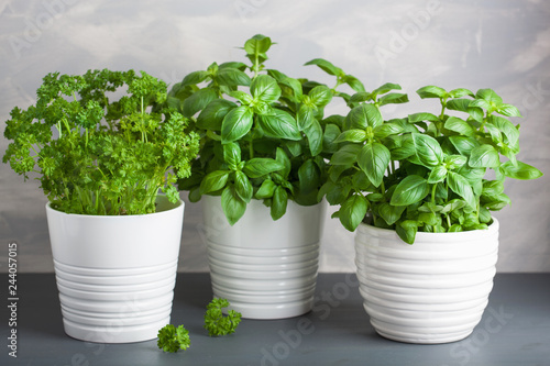 Canvas Prints Condiments fresh basil and parsley herb in pot