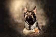 German Shepherd Dog Puppy Beau...