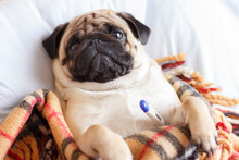 Sad Dog Pug In A Checkered Blanket Is Sick And Lies With A Thermometer