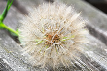 The Seed Head Of A Large Weed - Tragopogon
