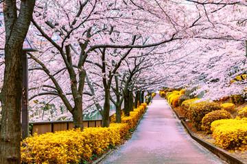 Fototapeta Drzewa Walkway under the sakura tree which is the romantic atmosphere scene in Japan