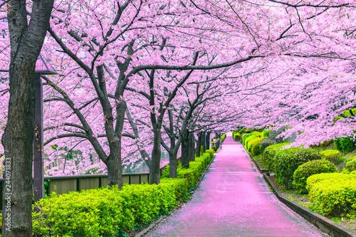 Keuken foto achterwand Kersenbloesem Walkway under the sakura tree which is the romantic atmosphere scene in Japan