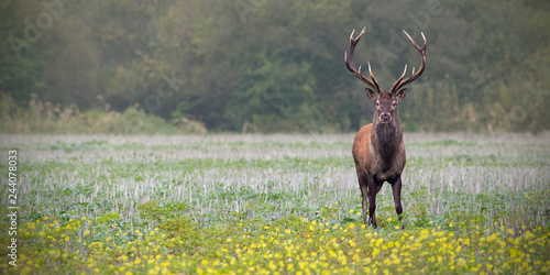 Fotografia Red deer, cervus elaphus, stag on a field with wildflowers