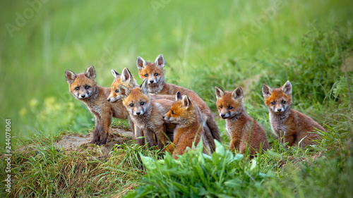Obraz Red fox, vulpes vulpes, cubs sitting by the den. Group of animal babies looking around. Wildlife scenery with multiple small wild predators. - fototapety do salonu