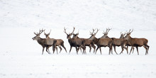 Herd Of Red Deer, Cervus Elaphus, Stags In Winter On Snow. Wild Animals In Cold Weather. Wildlife Scenery From Nature.