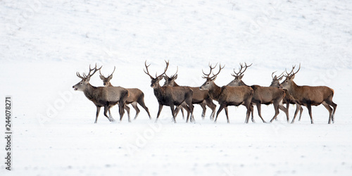 Fotografia, Obraz Herd of red deer, cervus elaphus, stags in winter on snow