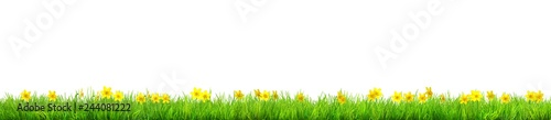 Fotografia a Spring narcissus flowers and green grass isolated