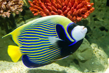 Emperor Angelfish (Pomacanthus...